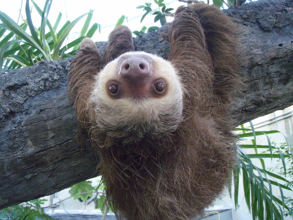 Two_toed_sloth.JPG